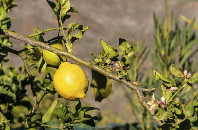 Quels sont les bienfaits du citron?