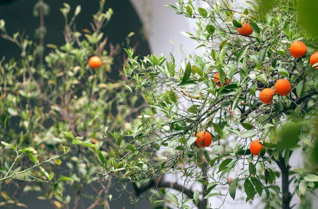 Comment protéger les agrumes en hiver?